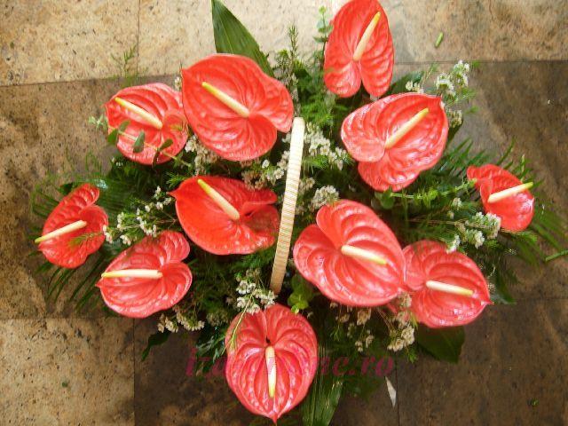 Clic pentru a vedea imaginea mărită Cosulet anthurium