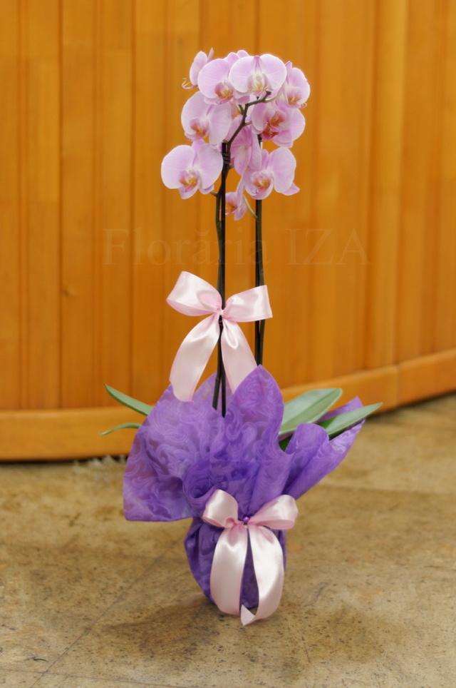 Clic pentru a vedea imaginea mărită Ghiveci Orhidee Mov