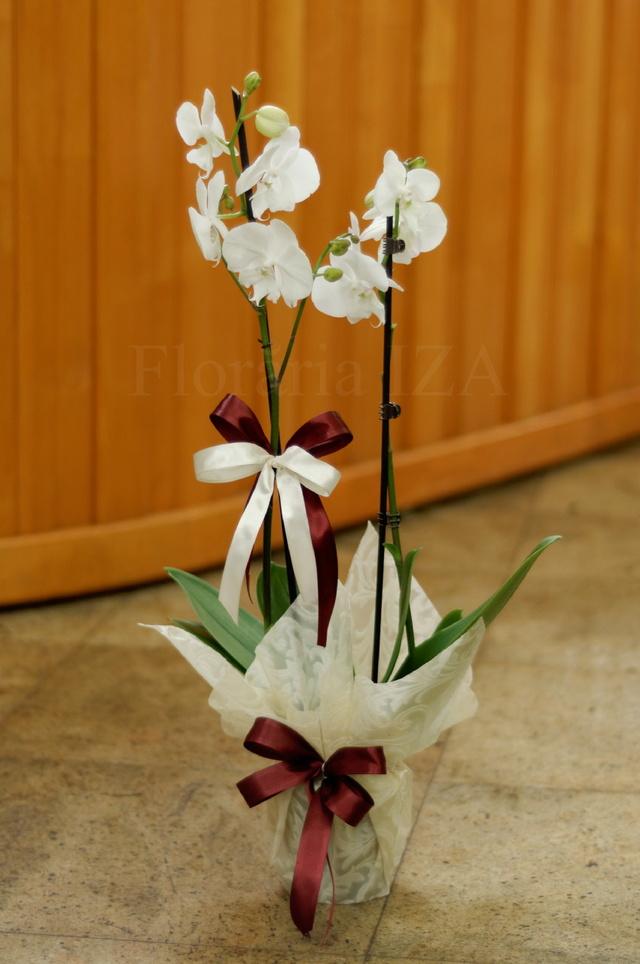 Clic pentru a vedea imaginea mărită Ghiveci Orhidee Albe